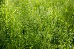 Poa ευρωπαϊκή χλόη λιβαδιών pratensis πράσινη Στοκ φωτογραφίες με δικαίωμα ελεύθερης χρήσης