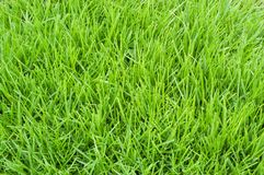 Poa annua grass Stock Photo