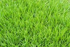 poa annua trawy zdjęcie stock