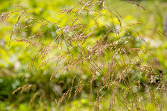 Poa pratensis. Tuft grass Poa pratensis on a Sunny day on the grass background Royalty Free Stock Images