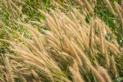 Poaceae łąkowy dmuchanie wiatrem Fotografia Stock