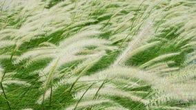 Poaceae άνθισης στον τομέα Στοκ Εικόνα