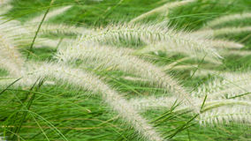 Poaceae άνθισης στον τομέα Στοκ φωτογραφίες με δικαίωμα ελεύθερης χρήσης