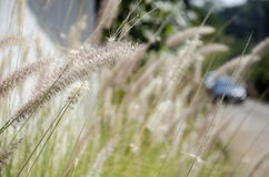 Poaceae ή εγκαταστάσεις Graminea Στοκ Εικόνες