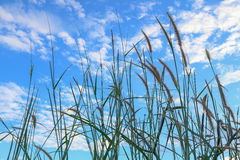 poaceae με το υπόβαθρο μπλε ουρανού Στοκ φωτογραφία με δικαίωμα ελεύθερης χρήσης