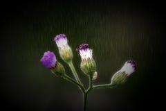 Poaceae σε περιόδους της βροχής Στοκ Φωτογραφία