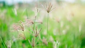 Poaceae στον πράσινο τομέα Στοκ φωτογραφία με δικαίωμα ελεύθερης χρήσης