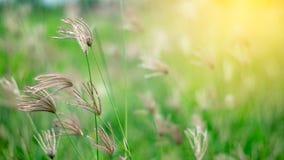Poaceae στον πράσινο τομέα Στοκ Εικόνες