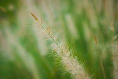 Poaceae, φτερό Pennisetum Στοκ Φωτογραφίες
