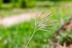 Poaceae Lizenzfreies Stockbild