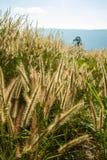 Poaceae Στοκ Εικόνα