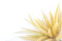 Poaceae Στοκ Εικόνες