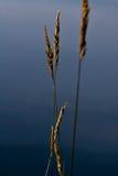 Poaceae Στοκ εικόνα με δικαίωμα ελεύθερης χρήσης