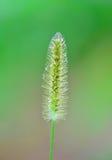 Poaceae Στοκ Φωτογραφίες
