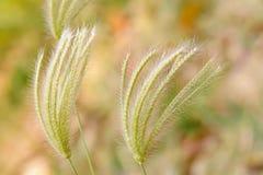 Poaceae Στοκ φωτογραφία με δικαίωμα ελεύθερης χρήσης