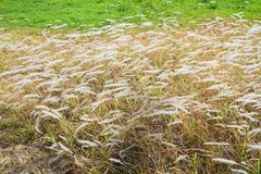 Poaceae Στοκ Φωτογραφία
