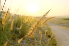 The poaceae in the morning sunlight. The poaceae along the way, Grass flower, Morning sunlight, green tree Stock Images