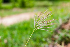 Poaceae. Also called Gramineae or true grasses Royalty Free Stock Image