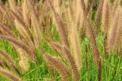 The Poaceae. (also called Gramineae or true grasses) are a large and nearly ubiquitous family of monocotyledonous flowering plants. With more than 10,000 Stock Photo