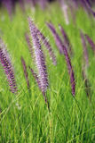 The Poaceae. (also called Gramineae or true grasses) are a large and nearly ubiquitous family of monocotyledonous flowering plants Royalty Free Stock Image