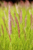 The Poaceae. (also called Gramineae or true grasses) are a large and nearly ubiquitous family of monocotyledonous flowering plants Stock Photo