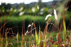 Poaceae - beskickninggräs Arkivfoto