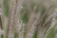 Poaceae. Close up to poaceae in the summer garden Stock Image
