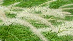 Poaceae de florescência no campo Fotos de Stock Royalty Free