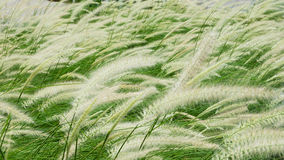 Poaceae de florescência no campo Imagens de Stock