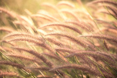 Poaceae de la flor de la hierba Imagen de archivo