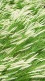 Poaceae di fioritura nel campo Fotografie Stock
