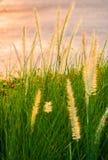 Poaceae en cierre encima del tiro Imagen de archivo