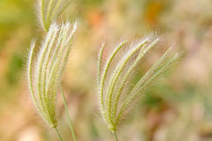 Poaceae Royalty Free Stock Photography