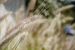 Poaceae or Graminea plant Royalty Free Stock Photos