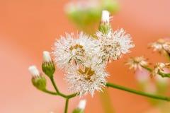 Poaceae ή Gramineae Στοκ φωτογραφίες με δικαίωμα ελεύθερης χρήσης