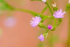 Poaceae or Gramineae Stock Photo