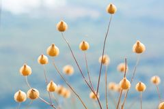 Poaceae or Gramineae. Many species. It is beaitiful and outstanding Royalty Free Stock Photography
