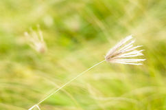 Poaceae grass flower Royalty Free Stock Photo