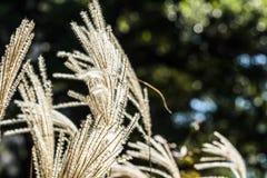 Poaceae Royalty Free Stock Photos