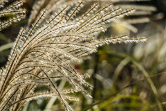 Poaceae. Grass flower are blowing by the wind Royalty Free Stock Image
