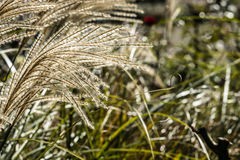Poaceae. Grass flower are blowing by the wind Stock Images