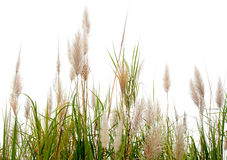Poaceae grass flower. Are blowing by wind stock photo