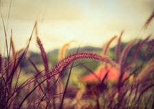 Poaceae grass flower in the lawn. Stock Photo