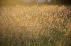 Poaceae Grass Flower. The  Poaceae Grass Flower with sunlight Royalty Free Stock Photos
