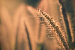 Poaceae grass flower with sunlight in the morning. Copy space for text or article Royalty Free Stock Image