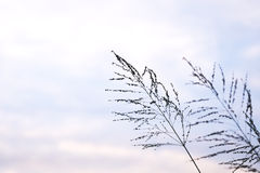 Poaceae grass flower in twilight Stock Photography