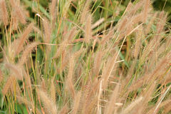 Poaceae Grass Flower. Use for background royalty free stock images