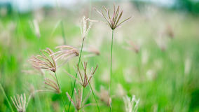 Poaceae in green field Royalty Free Stock Photography