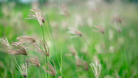 Poaceae in green field Royalty Free Stock Images