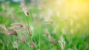 Poaceae in green field Stock Images